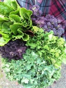 This week's greens, clockwise from top left: Swiss Chard, Purple Sprouting Broccoli, Turnip Rapini, Siberian Kale, and Sprouty Redbor Kale.