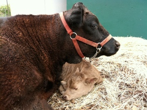 Juniper with her 3rd calf, Clementine, at 1-2 days old. This is motherly love.
