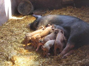 Katie doing the best she can to rest while her 5-week old litter nurses. Katie was 14 years old when she had this litter—a testament to natural pig husbandry. Caged pigs aren't in production more than a few years.