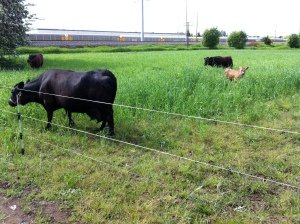 We are learning how to use our cows in our crop rotation. This is a temporary fence set up on an overwintered cover crop of rye and field peas.