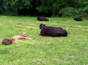 This is what contented cows look like. Mamas chewing cud and meditating, and calves sleeping by nearby.
