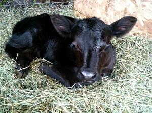 Cute as a button. Matilda, Juniper's first calf.