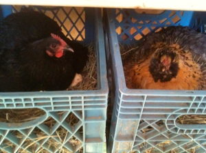 "Hens on nests. This is what ""cage-free"" looks like."