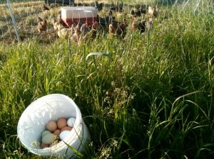 Hens on pasture make the tastiest eggs.