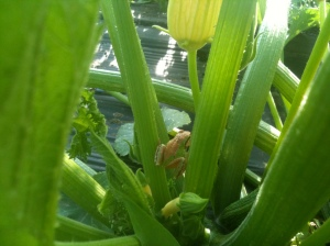 Little frogs keep the bugs away from infant squashes.