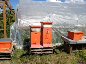 After the swarm we have a real bee-yard. Four colonies. The two in the middle are the ones we started with this year.