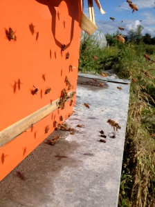 Hard-working honeybees.