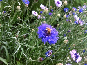 Honeybees love the cut-flower garden.