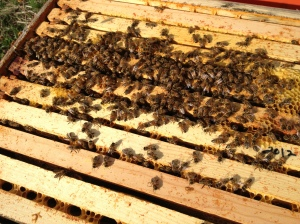 Our honeybees in early March. My girls have been out foraging on willow and hazel pollen since February, and they're finding nectar somewhere as well. Pollen feeds the babies and nectar gets turned into honey. They won't bring home pollen unless there are babies to feed, or at least eggs being laid. So, it's a good indicator that there are queens in the hives, without having to pull out all the frames and examine them on chilly days.