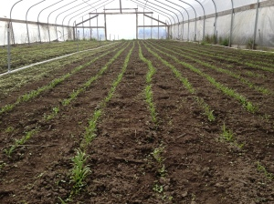 Spinach seedlings in the greenhouse, newly cultivated. Planted February 25, they are just getting their first true leaves March 15. We will probably be picking these sweet babies by Easter.