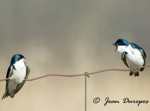 Tree Swallows are a sure sign that spring has arrived. They are truly a great thing for our farm.