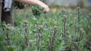 We usually put in a big planting of all the different kales in early fall. We harvest the leaves through the winter, but the sweetest reward comes in the spring, when we have lots of these delicious broccolini to pick.