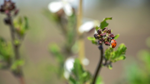April Fools' Day, and the ladybugs are out, looking for nectar to feed on until they mate and lay eggs. The arugula is blooming.