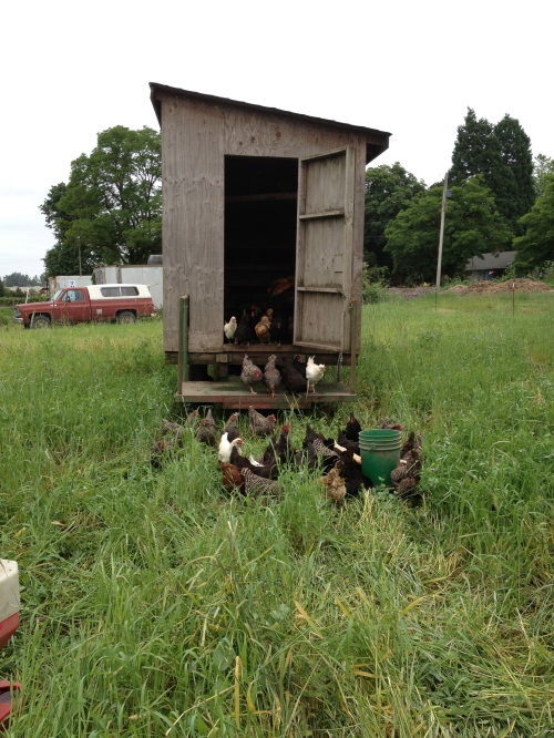 The older flock of laying hens moved in the night to their new pasture. It's always exciting to wake up in a new place.