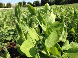 Tender pea shoots in the morning sun. Make sure and enjoy them now, because their season is short.