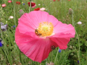 There are a bunch of flowers that volunteered from last year's cut-flower patch. One of our honeybees is enjoying a poppy here—you can see her loaded pollen basket.