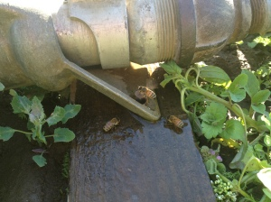 Honeybees need water too! We shut off the sprinklers and the honeybees came in for a drink.