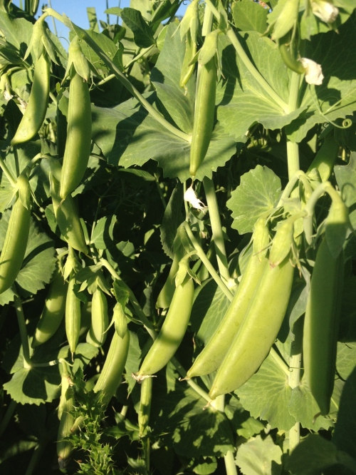 Like Christmas in July. Sugar Snap Peas!