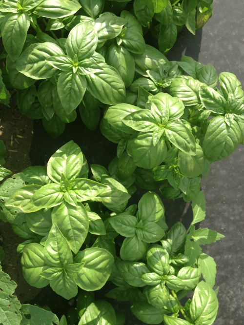 Basil production is peaking already! It's luscious and tender, and perfect for Pesto!