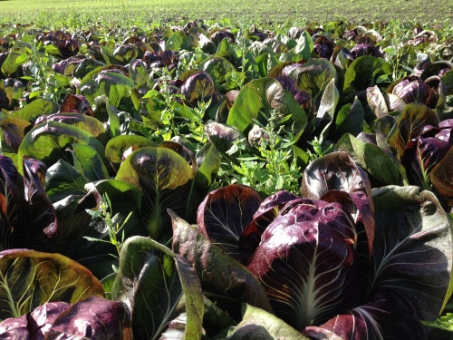 Field of Radicchio in the fall sunshine.