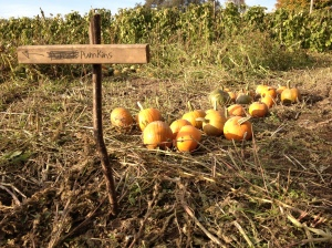 Come and get your pumpkins! One of the perks included in our CSA program.