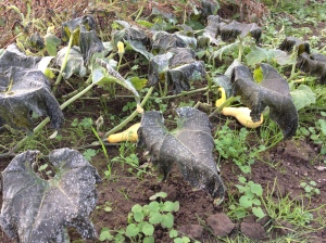 Our winter squash patch next door was hit by frost, but it didn't make it to our side of the fence.