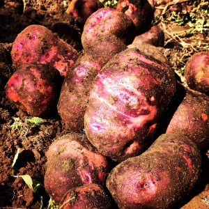 """Purple Viking"" are a delicious heirloom potato. The skin is swirled in purple and pink, and the flesh is snow white. I find they're great for anything except mashing, and I love turning them into a bubbly gratin."