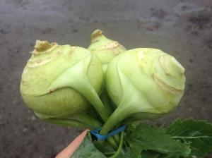 Kohlrabi are the alien spaceships of the vegetable world.