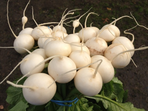 "Japanese Turnips, also called ""Tokyo Market"" or ""Hakurei"", are tender, sweet, and delicious. They're even better when the weather turns chilly!"