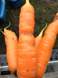 Our only carrot pest, the Carrot Rust Fly, lays eggs in the soil when the carrot plants are young, and the larvae dig into the ground and tunnel into the sweet, tasty carrots. This is what they look like. It's a shame to throw away all the carrots with tunnels, so we just cut around them. They don't affect the carrots' flavor, but they are unsightly. We make our bunches just a bit bigger to make up for the damage.