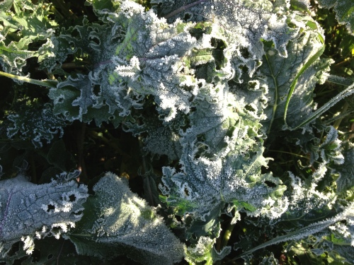 First hard frost of the season. This makes me really excited, because at long last the kale that people have thought tasted so good is now going to taste amazing! Frost converts the starches in the leaves to sugars—nature's antifreeze.