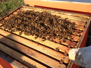 Last check-up of the bee hives before real winter. The goal is to squeeze them into the smallest space possible so they can keep themselves warm, while leaving them plenty of reserves to take care of brood in the early spring. Looks like we have three strong colonies now, but anything can happen through the long winter.