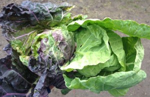 Cabbage and Brussels Sprouts are cousins, and they look almost the same from the top view (aside from the difference in color). Cabbage head on the left, Brussels Sprout top on the right.