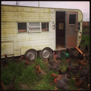 What do you do with a leaky trailer? You turn it into a hen house! Fixtures removed, cupboards converted to nest boxes, and plenty of roost space. Room for 160 hens, and it's easy to move around the farm.