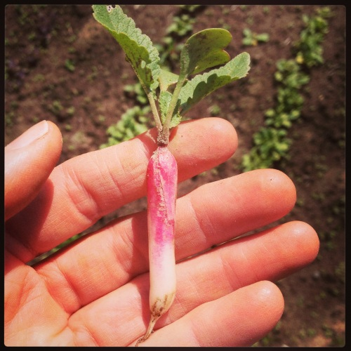 Lovely little radishes. We are having them in our salads, but sadly, the tops are too tiny for bunching. They will need another week before we can harvest.