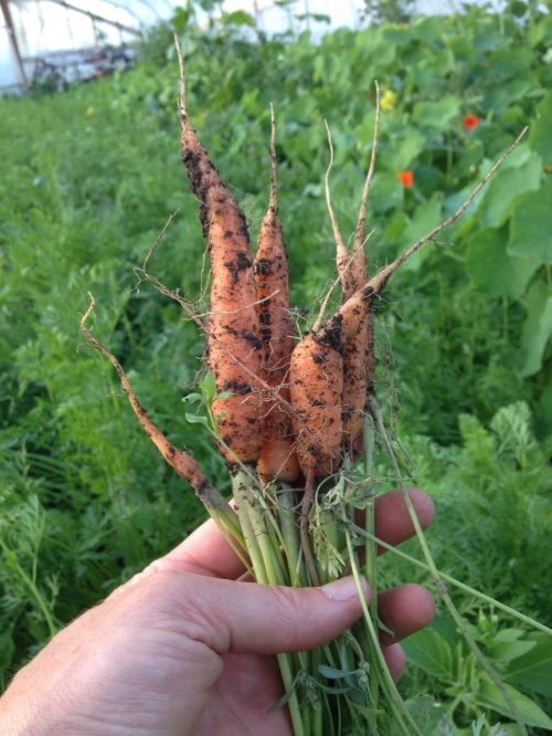Is there anything sweeter than the first carrot harvest of spring? We get a jump on it by planting the first week of March, in a greenhouse.