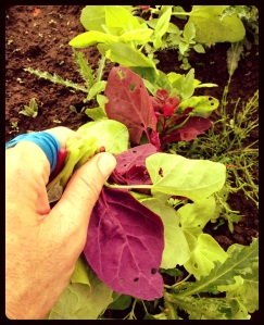 "Rainbow-colored Orach, or ""Mountain Spinach"". It's a nutritious, cool-weather green that is very similar to spinach."