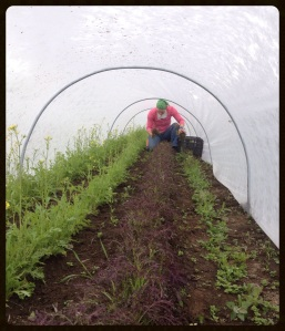You've seen those row cover tunnels from the outside, but this is the inside view. Harvesting purple salad mustard. Good thing we're not claustrophobic.