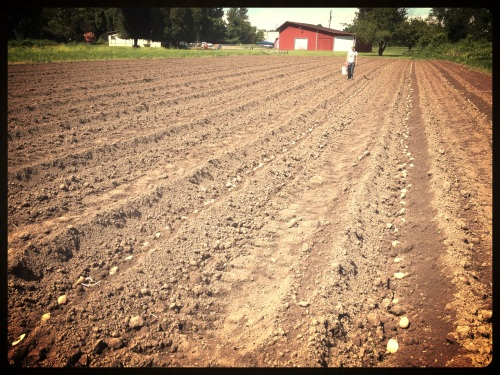 800# of potatoes are planted! A little late, but the ground was so wet, this was the soonest we could get it ready. New potatoes should be ready in July!