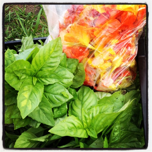 Summer is early this year! Never before have we been able to provide basil and nasturtiums in our Spring CSA.