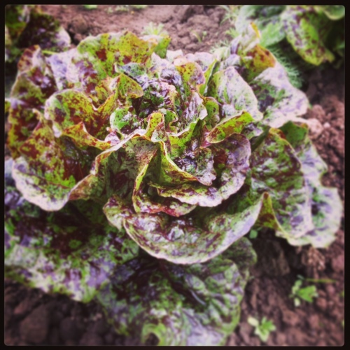 Beautiful Mayan Jaguar lettuce. It's a romaine, so when it grows up a bit more, it will be a carnival of crunchiness.