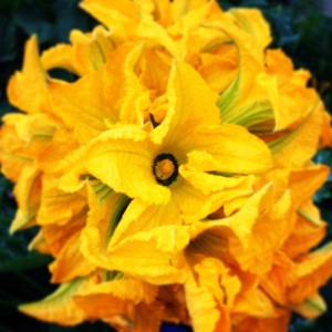 Zucchini blossoms are making their premier in the Trading/Sharing Box today!