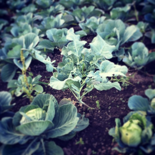 So, a broccoli plant walked into a cabbage patch...