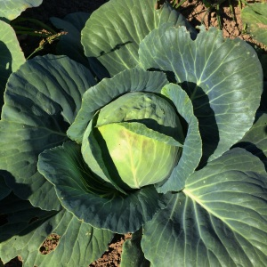 A growing cabbage is a beautiful thing.