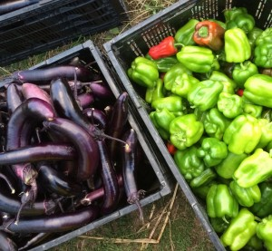 So exciting to have enough for everyone! Sweet peppers and Japanese eggplant.