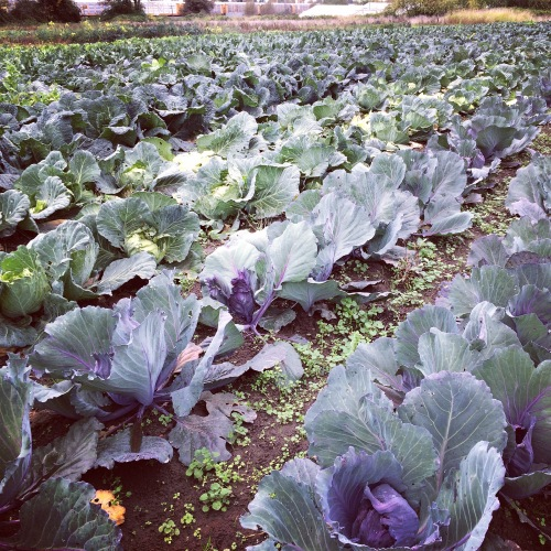 Our Fall Brassica field is looking amazing—and it's November! Cabbages of many kinds, Broccoli, Cauliflower—White, Purple, and Romanesco—all are coming to you in this wonderful Winter Season!