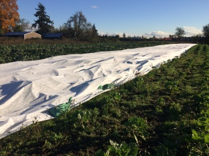 Goodnight, Cauliflower. Preparing for the Arctic Blast by covering the nearly-ready cauliflower patch with frost blanket anchored by sandbags. Hopefully it does the trick. There are nearly 2,000 heads of Romanesco, Purple, and White cauliflower, nearly ready to harvest. They just need another week or two. Brussels Sprouts on the right, Cabbages on the left. Mount Rainier in the background.