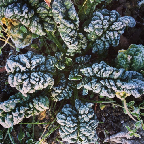 Savoy (wrinkly-leafed) spinach is much more winter-hardy than flat-leafed spinach.