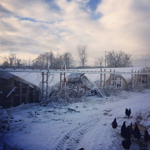 Brrrr. The rogue chickens are looking for handouts—21°, It's a winter wonderland!