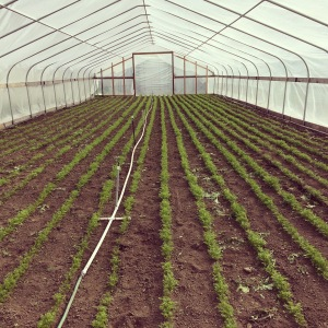 Every year we dedicate a little more greenhouse space to early carrots. This year they get a WHOLE 30' wide tunnel to themselves. Lots of carrots coming in May!
